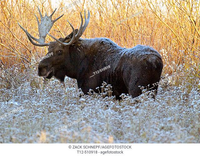 Bull Moose on a chilly morning in the Grand Teton National Park