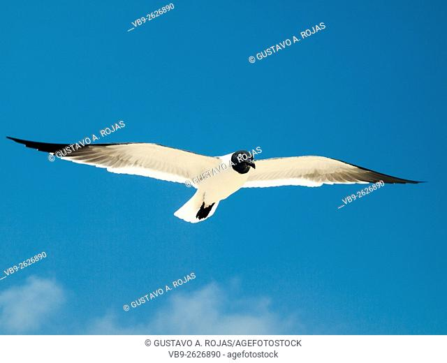 1 Animal Flying Gull Bonaparte in sky (Chroicocephalus philadelphia), South America archipiélago Los Roques Venezuela'