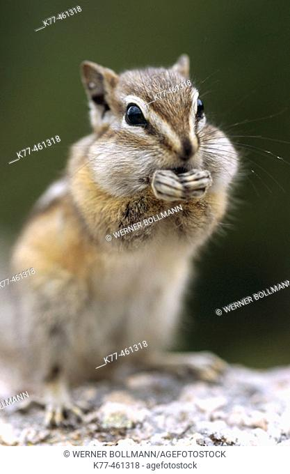 Least Chipmunk (Tamias minimus), feeding. South Dakota, USA