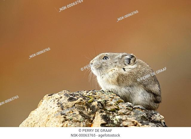 Collared Pika (Ochotona collaris) sitting on a rock with autumn colors in the background, United States, Alaska, Denali National Park and Preserve