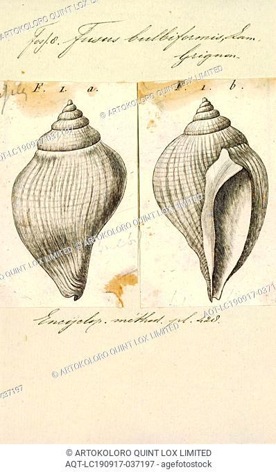 Fusus bulbiformis, Print, Fusus is a genus of small to large sea snails, marine gastropod mollusks in the family Fasciolariidae