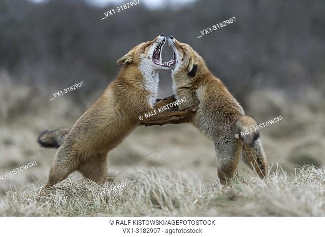 Red Fox / Foxes ( Vulpes vulpes ), two adults, standing on hind legs, threatening each other, wide open jaws, territorial behaviour during rut, wildlife, Europe