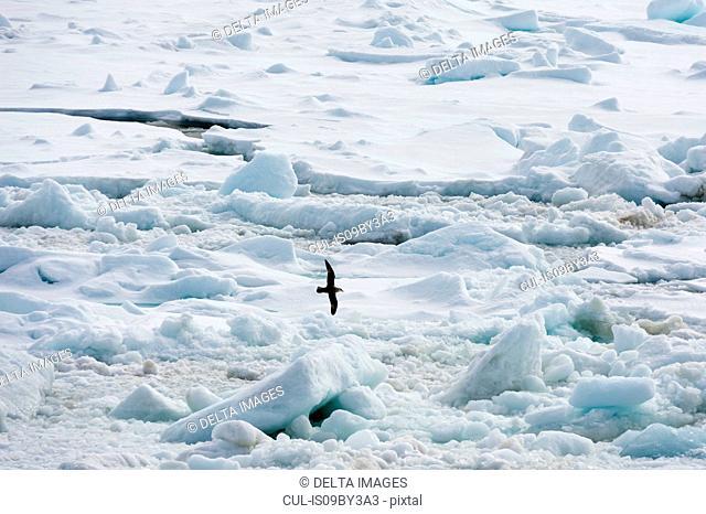 Bird flying over ice, Wahlenberg fjord, Nordaustlandet, Svalbard, Norway