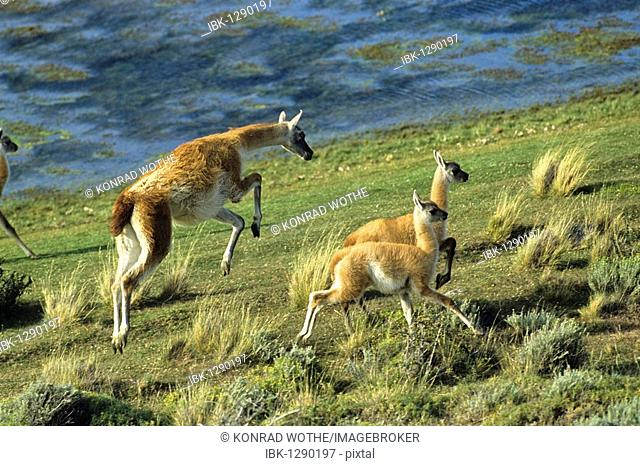Guanaco (Lama guanicoe) with young, Torres del Paine National Park, Patagonia, Chile, South America