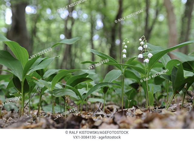 Lilies of the Valley ( Convallaria majalis ) blossoming in a natural forest, Europe