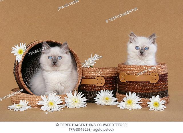 2 ragdoll kitten in basket