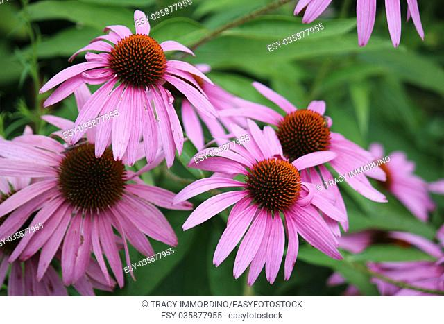 A group of Purple Coneflowers, Echinacea, in full bloom, in the summer, Wisconsin, USA