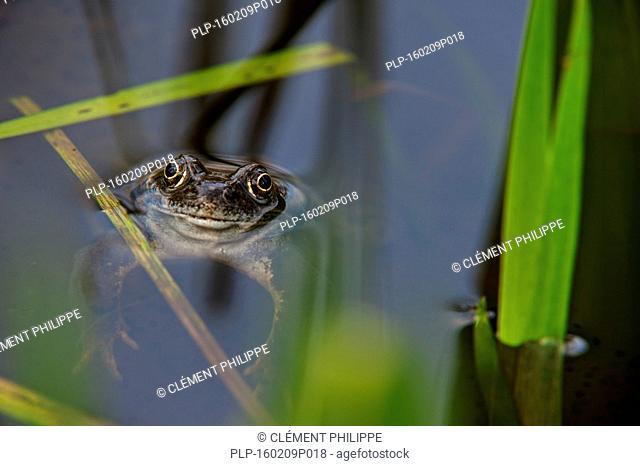 European common brown frog (Rana temporaria) floating in pond, Belgium, April