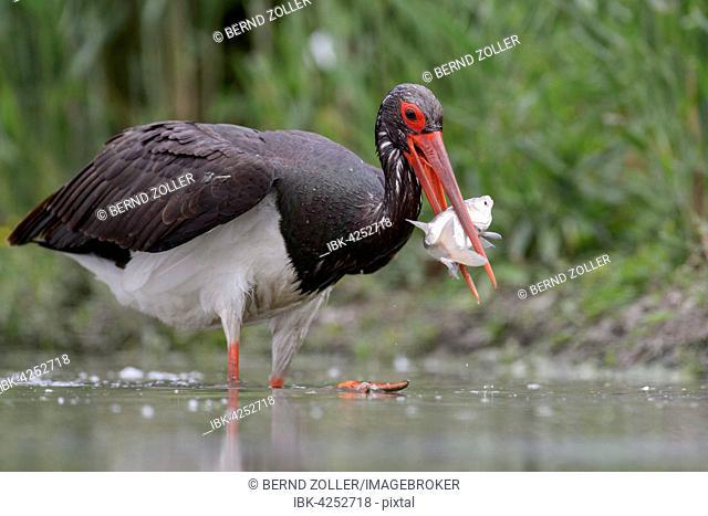 Black stork (Ciconia nigra) with prey in beak, Kiskunság National Park, Hungary