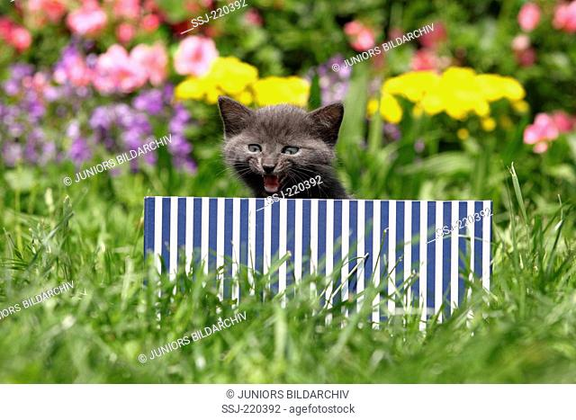 European Shorthair. Kitten (6 weeks old) in a blue-and-white striped box in a garden, meowing. Germany