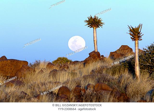 Moonrise at the Quiver Tree (Aloe dichotoma) Forest - Keetmanshoop, Namibia, Africa (Composite Image with Moon)