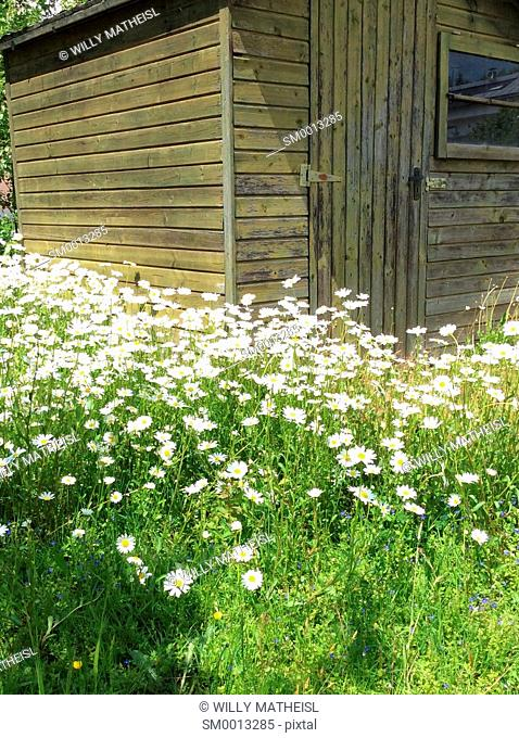 field with marguerite flowers and wooden cottage, Bavaria, Germany, Europe