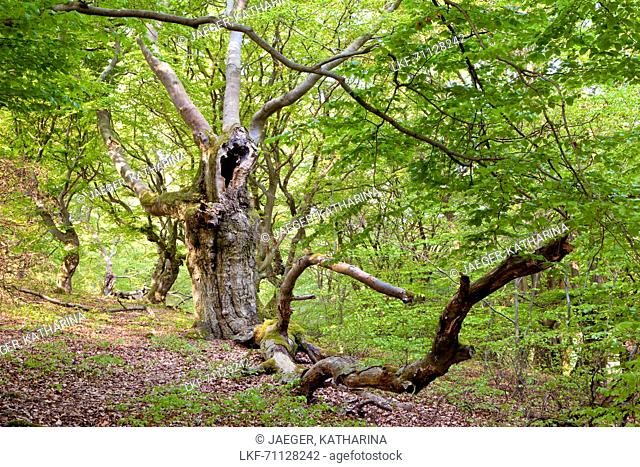 Very old hollowed out common beech trees (Fagus sylvatica) used to feed livestock in Hutewald Halloh wood pasture forest Albertshausen, Hesse, Germany, Europe