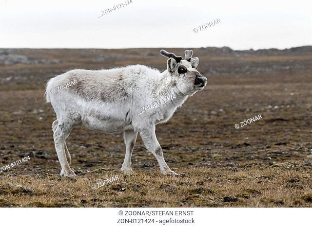 Svalbard Ren oder Spitzbergen Ren, Spitsbergen, Svalbard, Norwegen, Europa / Svalbard Reindeer, Spitsbergen Island, Svalbard, Norway