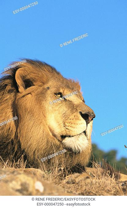 Lion (Panthera leo), captive. African savannah
