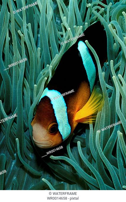 Clarks Anemonefish, Amphiprion clarkii, Pacific, Micronesia, Palau