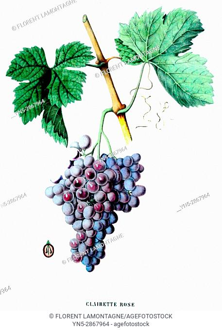 Old botanical board of the grappe species Clairette rose