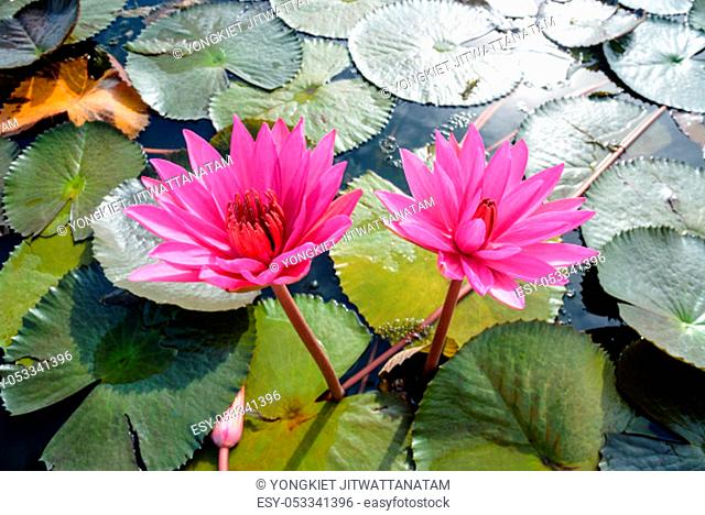 Beautiful nature close-up on top of two red lotus flowers or Red Indian Water Lily or Nymphaea Lotus in the pond at Thale Noi Waterfowl Reserve Park