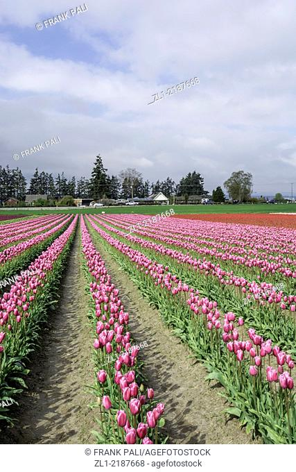 Commercial Tulip farm near La Conner during anual Tulip Festival in April and May, La Conner Washington.USA