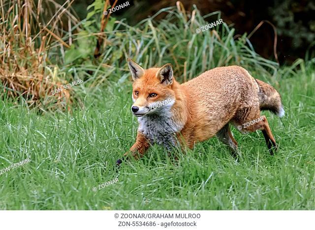 Running Fox (Canidae Vulpini ) Berkshire UK