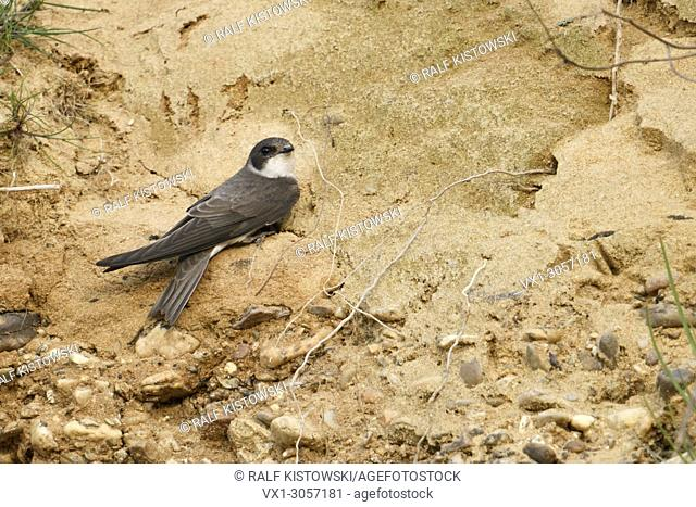 Sand Martin / Bank Swallow ( Riparia riparia) just arrived in its breeding territory, perched in the embankment of a sand pit, wildlife, Europe