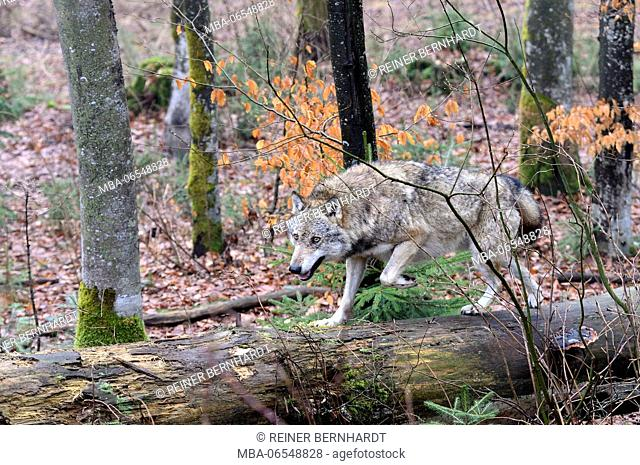 European wolf in the forest, Canis lupus