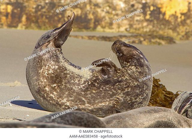 Eastern Pacific Harbor Seal (Phoca vitulina richardii) San Diego, California, USA
