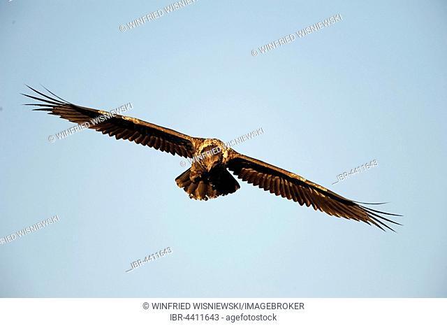 Immature bearded vulture in flight (Gypaetus barbatus), Giant's Castle National Park, Kwazulu-Natal, South Africa