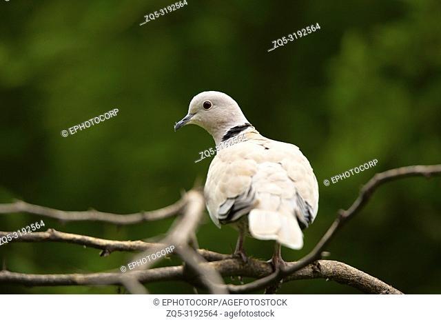 Eurasian collared dove, Streptopelia decaocto, Jhalana, Rajasthan, India