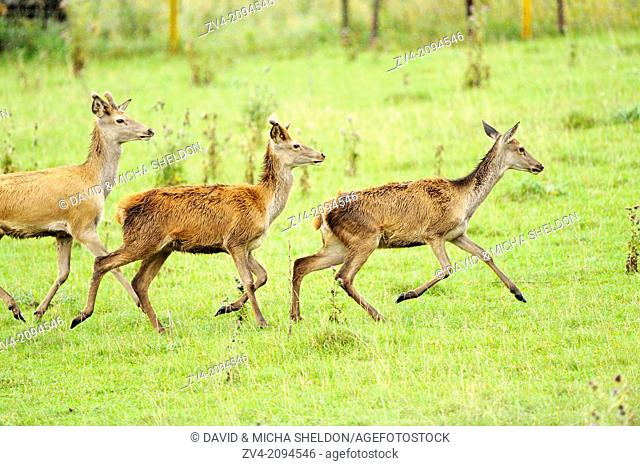 A group of a red deer (Cervus elaphus) running over a meadow