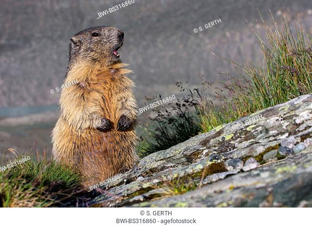 alpine marmot (Marmota marmota), warning its collegues, Austria, Hohe Tauern National Park, Grossglockner