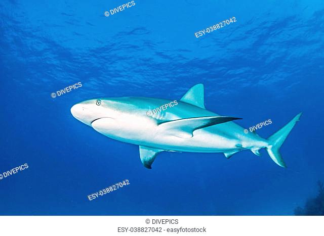 Picture shows a caribbean reef shark during a scuba dive at Bahamas