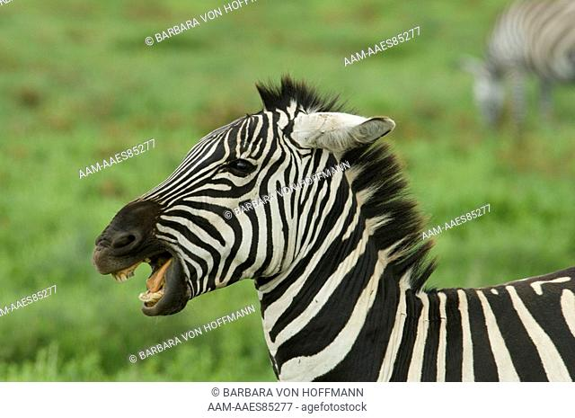Burchell's Zebra, head shot of aggression with mouth open, ears flattened, Ngorongoro Crater, Tanzania