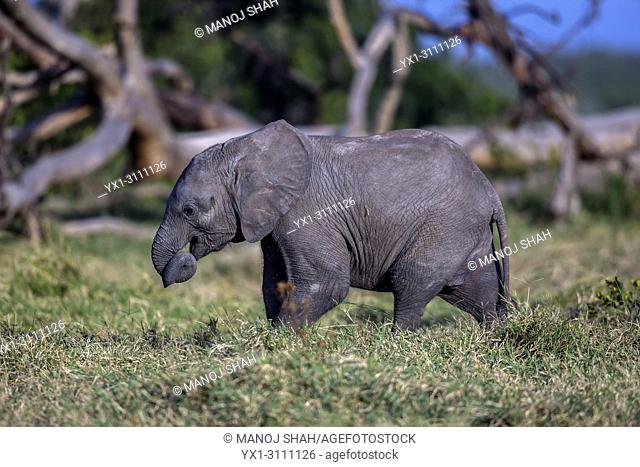African Elephant baby feeding on grass in Ol Pejeta, Laikipia