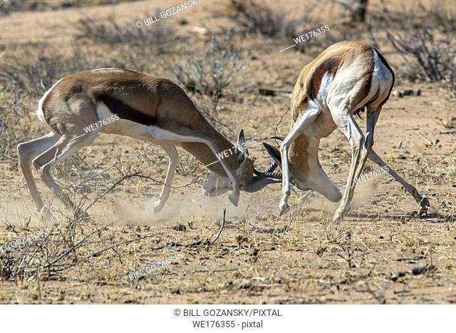 Springbok (Antidorcas marsupialis) fighting - Okonjima Nature Reserve, Namibia, Africa