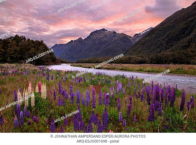 Scenic view of lupine rowing beside river in Fiordland National Park at moody dusk, New Zealand