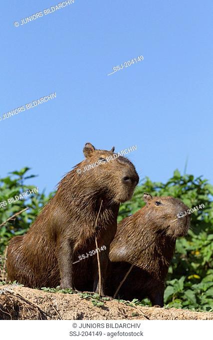 Capybara (Hydrochoerus hydrochaeris). Two adults sitting on a riverbank. Pantanal, Brazil