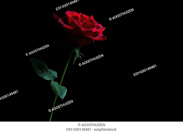 Silhouette of a red rose low key rim lighting