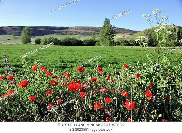 Poppy fields, Mazarete, Guadalara province, Castile-La Mancha, Spain