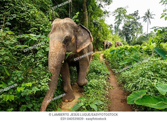 Three elephants walk on a jungle path in Chiang Mai Thailand