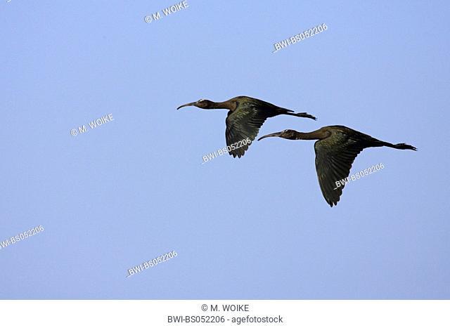 glossy ibis (Plegadis falcinellus), flying, Greece, Thrace, Evros-Delta