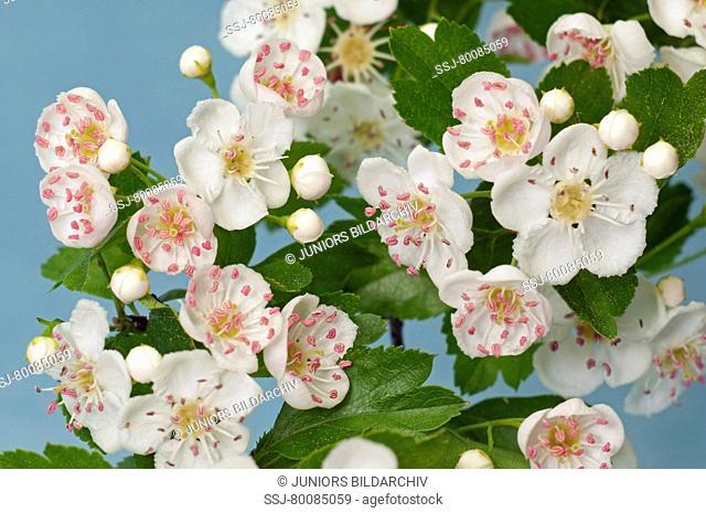 DEU, 2009: Hawthorn (Crataegus sp.), flowers