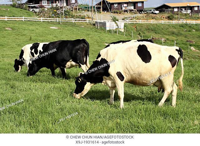 Dairy cattle in fields, Dairy farm, kundasan, sabah, malaysia