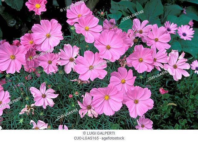 Cosmos bipinnatus Sonata Pink