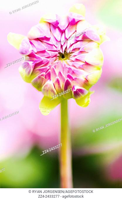 Nature macro photo on the head of a close pink dahlia flower. Spring blossoms