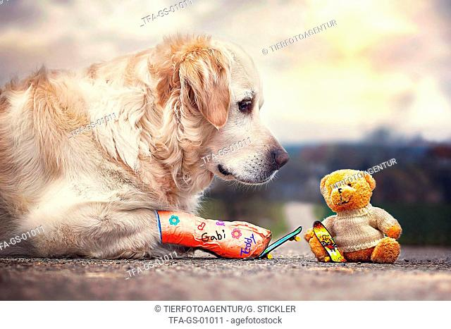 Golden Retriever and teddy bear
