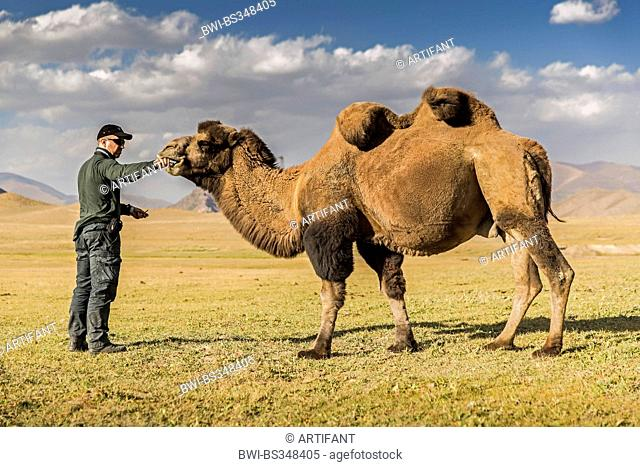 Bactrian camel, two-humped camel (Camelus bactrianus), man feeding a camel in steppe, Kyrgyzstan, Naryn