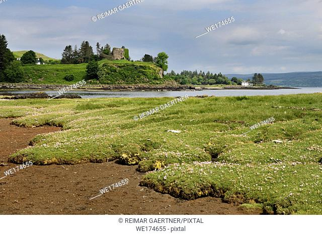 Salt marsh grass with Sea Thrift on shore of Sound of Mull with Aros Castle ruin near Salem Isle of Mull Inner Hebrides Scotland UK