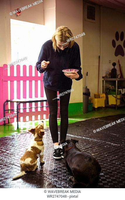 Woman feeding black beagle and rat terrier dog