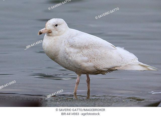 Glaucous Gull, White-winged Gull (Larus hyperboreus), juvenile standing in the water, Berlevåg, Finnmark, Norway